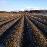 BioAgri-kalvolla suojattu mansikkamaa huhtikuussa 2012 (istutettu kesäkuussa 2011)