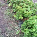 BioAgri für Erdbeeren nach 14 Monaten, Finnland
