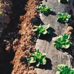 Lettuce and BioAgri, close up