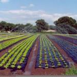 Salatfeld in Frankreich mit BioAgri