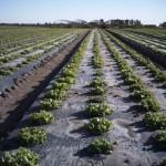 Sallatsfält i Italien med BioAgri bäddfolie