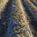 Jordgubbsfolie i perfekt skick efter 10 månader, Finland