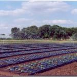 BioAgri-kalvolla suojattu lehtisalaatti Ranskassa